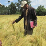 Synopsis: How big are post-harvest losses? Evidence from teff
