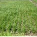 Synopsis: Row planting teff in Ethiopia: Impact on farm-level profitability and labor allocation
